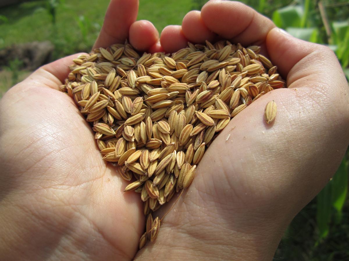 arsenico arroz