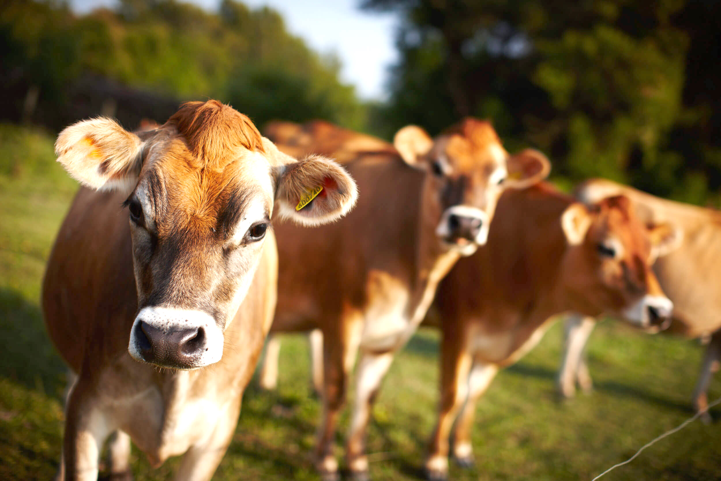 Jersey-Cows-Header-1_0
